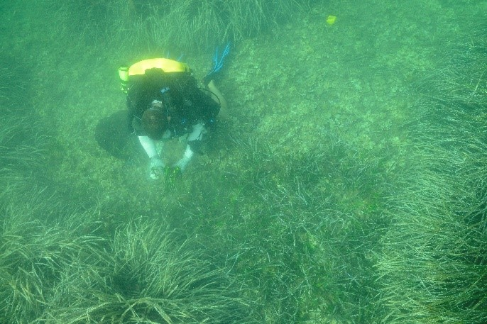 Plongeur-repiquage-posidonie2
