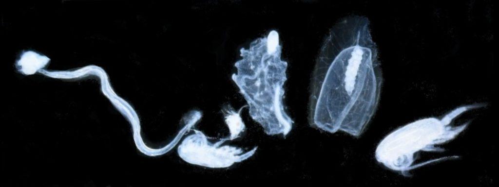 starecapmed-diversité-zooplanctonique
